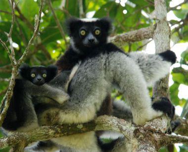 Indri (Indri indri)