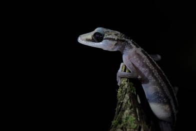 Graceful Madagascar Ground Gecko (Paroedura gracilis)