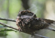 Collared Nightjar (Gactornis enarratus)