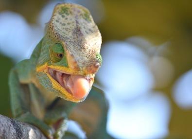 Parson's Chameleon (Calumma parsoni)