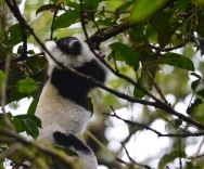 Southern Black-and-White Ruffed Lemur (Varecia variegata editorium)